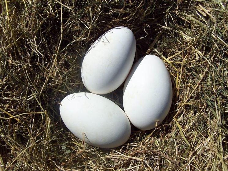 Uova di oche selvatiche