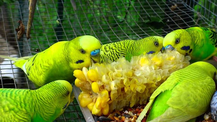 Pappagallini che mangiano mais