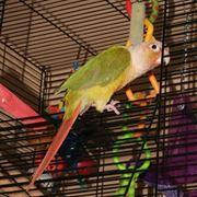 Allevamento pappagalli
