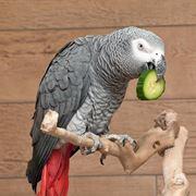 costo pappagallo