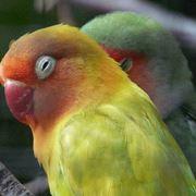 pappagallino inseparabile