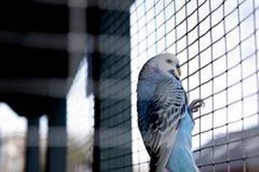 pappagallini ondulati