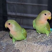 pappagalli domestici