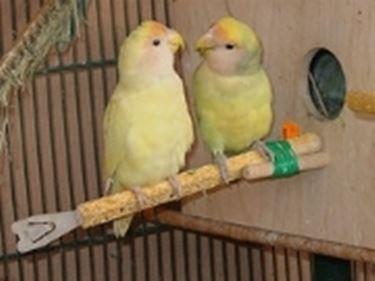 pappagallini inseparabili