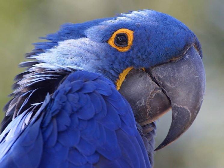 pappagallo amazzone