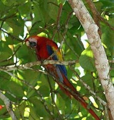 pappagallo brasiliano
