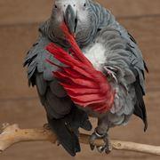 Esemplare di cenerino a coda rossa