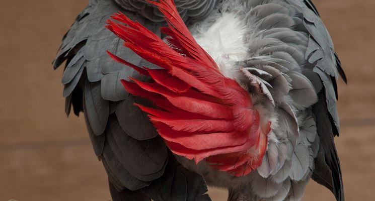 Esemplare di <strong>cenerino</strong> a coda rossa