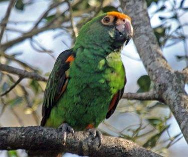 Un bell'esemplare di pappagallo del Senegal