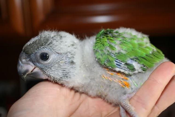 Un piccolo del pappagallo del Senegal