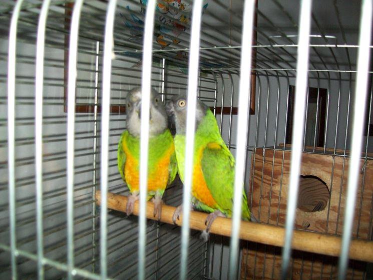 Una coppia di pappagalli del Senegal in cattività