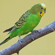 tipi di pappagalli
