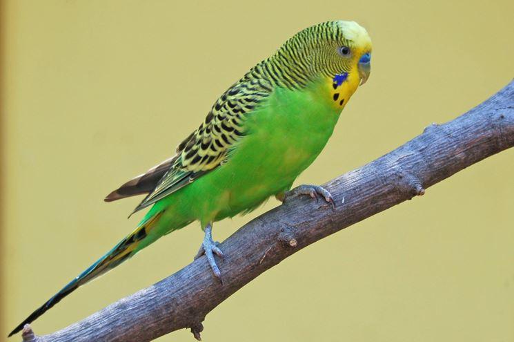 Esemplare di pappagallo parrocchetto