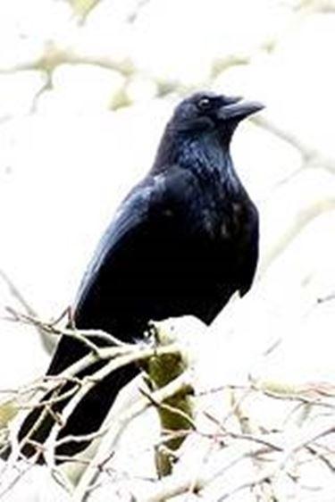 Corvo Rapaci E Altri Uccelli Caratteristiche Del Corvo