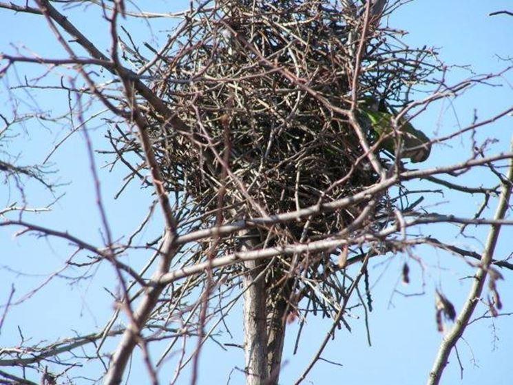 nido di nibbio reale