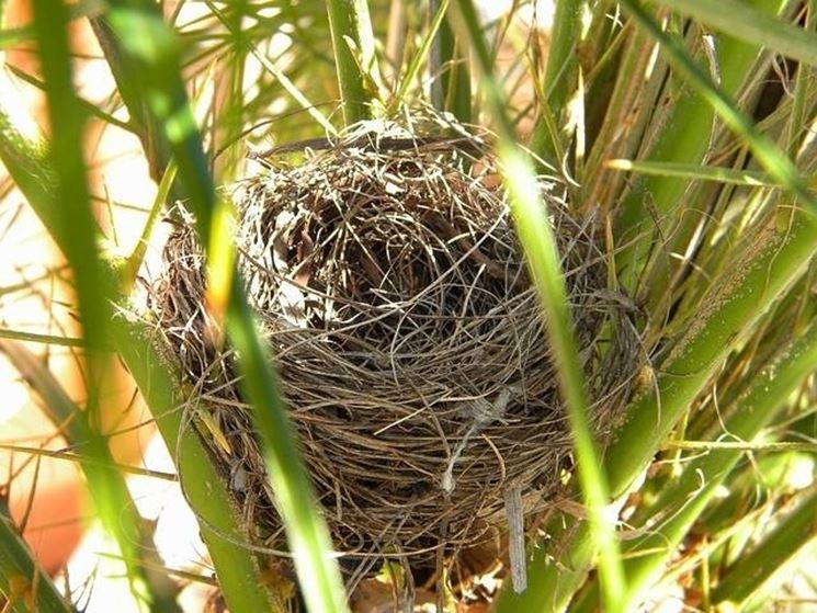 nido di peppola