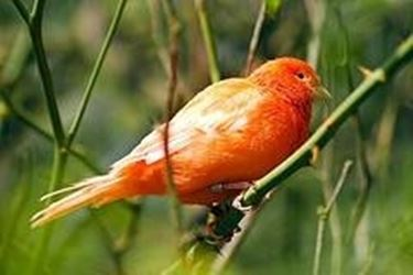 uccelli da canto