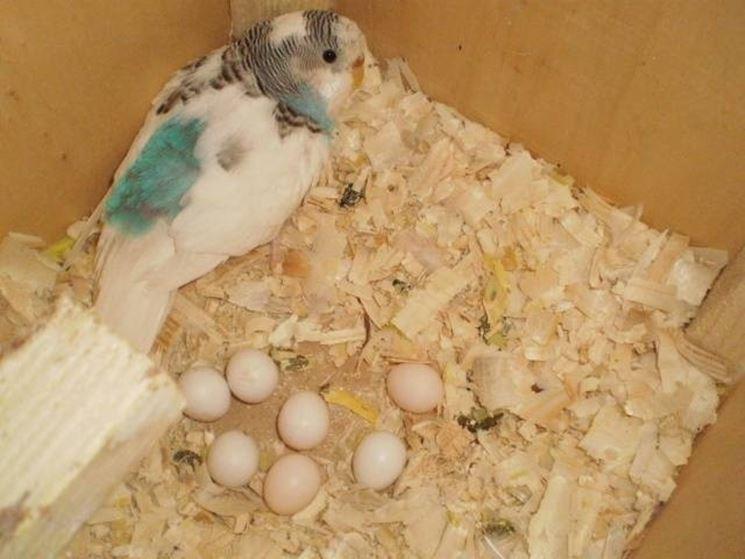 Cocorita con uova