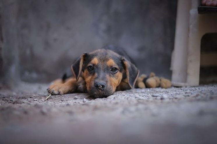 cane rogna