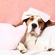 Circolo della filariosi cardiopolmonare nel cane