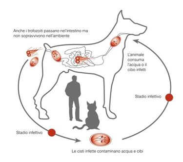 Ciclo della giardia nel cane