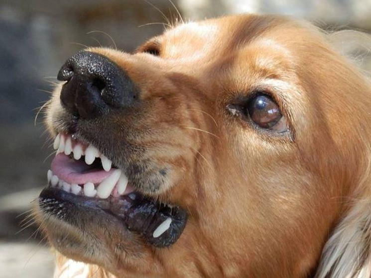 rabbia cane