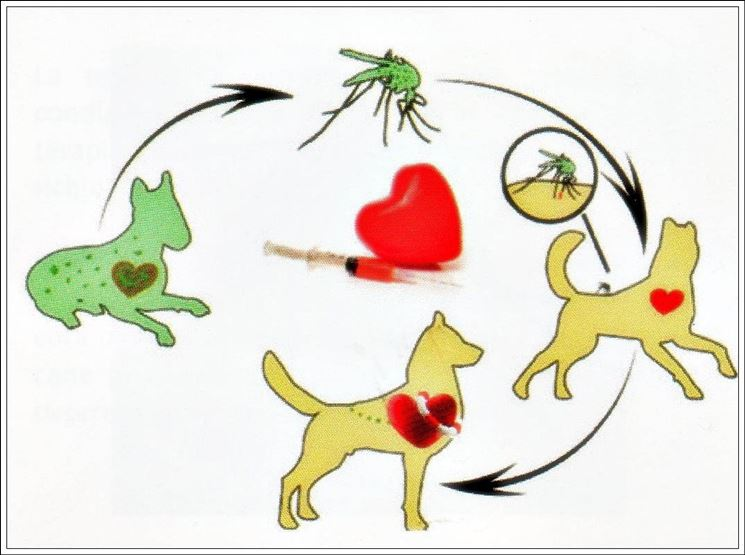 Il ciclo di vita della filaria